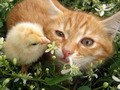 Cat and Chick - cats photo
