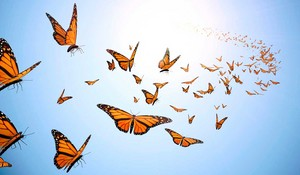 Flying mariposas