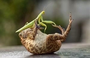 Frog And Mantis