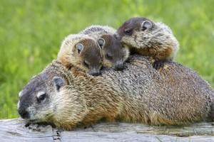 Groundhog with mga sanggol on back