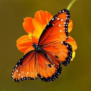 주황색, 오렌지 나비
