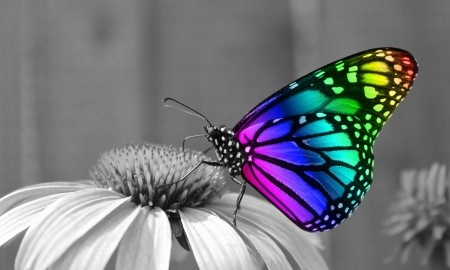 Butterflies wallpaper called Rainbow Butterfly