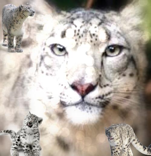 Snow Leopard アイコン