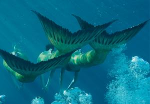 Swimming Mermaids