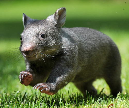 Animals images Wombat wallpaper and background photos ...