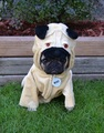 A Pug In A Pug Costume - dogs photo