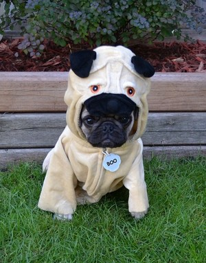 A Pug In A Pug Costume