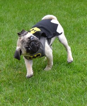 Batman Pug Halloween Costume