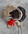 Boo The Aviator Pilot Pug Halloween Costume