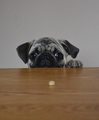 Boo The Pug and a Cheerio - dogs photo