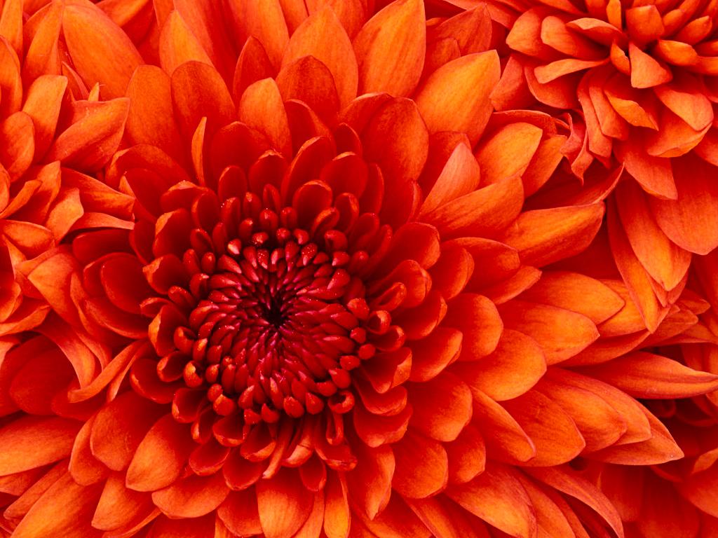 کرسنتیمم, گل داؤدی