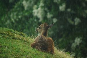 cerbiatto, fawn