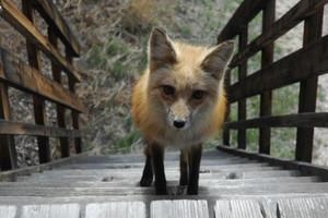 狐, フォックス