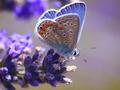 Light Blue Orange Winged Butterfly - butterflies photo