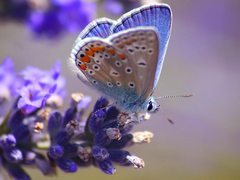 Light Blue Orange Winged Butterfly