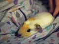 My little Apollo <3 - guinea-pigs photo