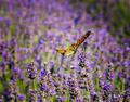 Orange Butterfly - butterflies photo