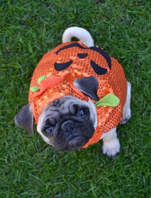 Pumkin Pug हैलोवीन Costume