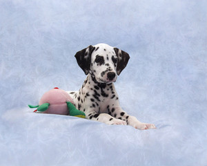 Relaxed Dalmatian
