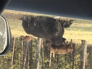 Stern bison