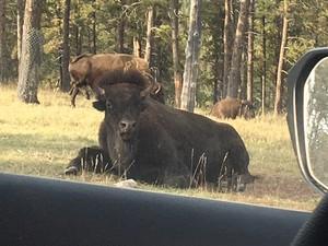 Stern banteng, bison