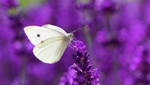 White mariposa On Lavender