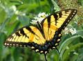 Yellow Butterfly - butterflies photo