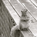 black and white animal photography squirrel