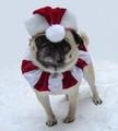 Christmas Santa Pug - pugs photo