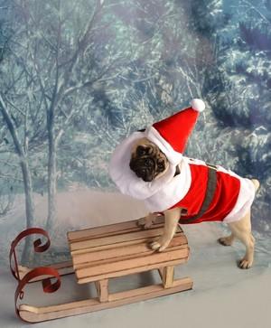 圣诞节 Santa Pug