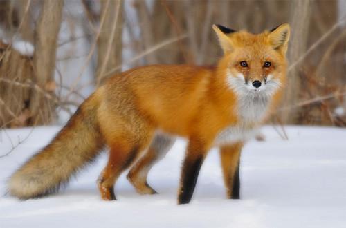 Foxfighters FOX-fox-40076151-500-330