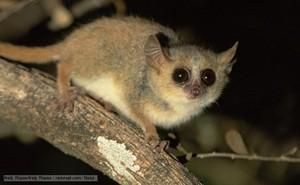 ratón Lemur.