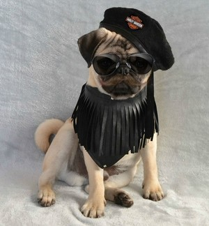 Movember Pug 子犬