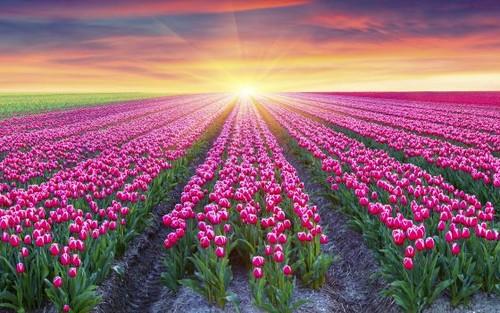 the netherlands images pink tulip garden. wallpaper and background, Garden idea