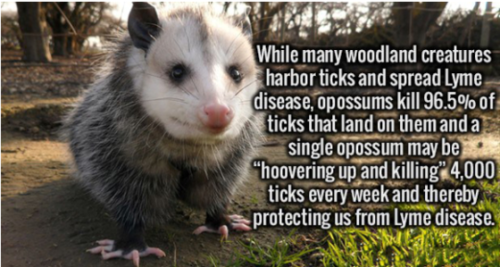 Science News kertas dinding possibly containing an opossum and a common opossum titled Protectors Against Lyme Disease