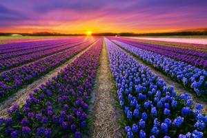 tulipán, tulip Garden.