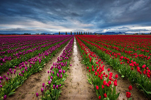tulipe, tulip Garden.