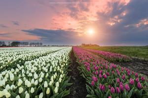Tulip Garden.