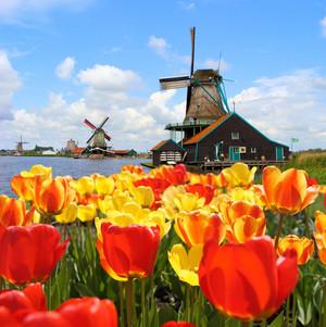 Tulips Amsterdam.