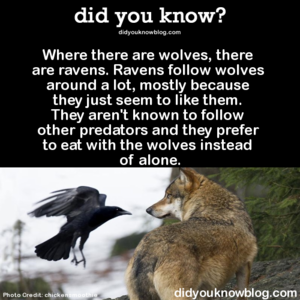 Mbwa mwitu loups and Ravens