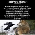 Wolves and Ravens - wolves fan art