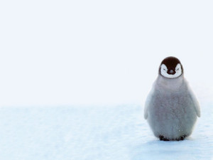 Baby chim cánh cụt