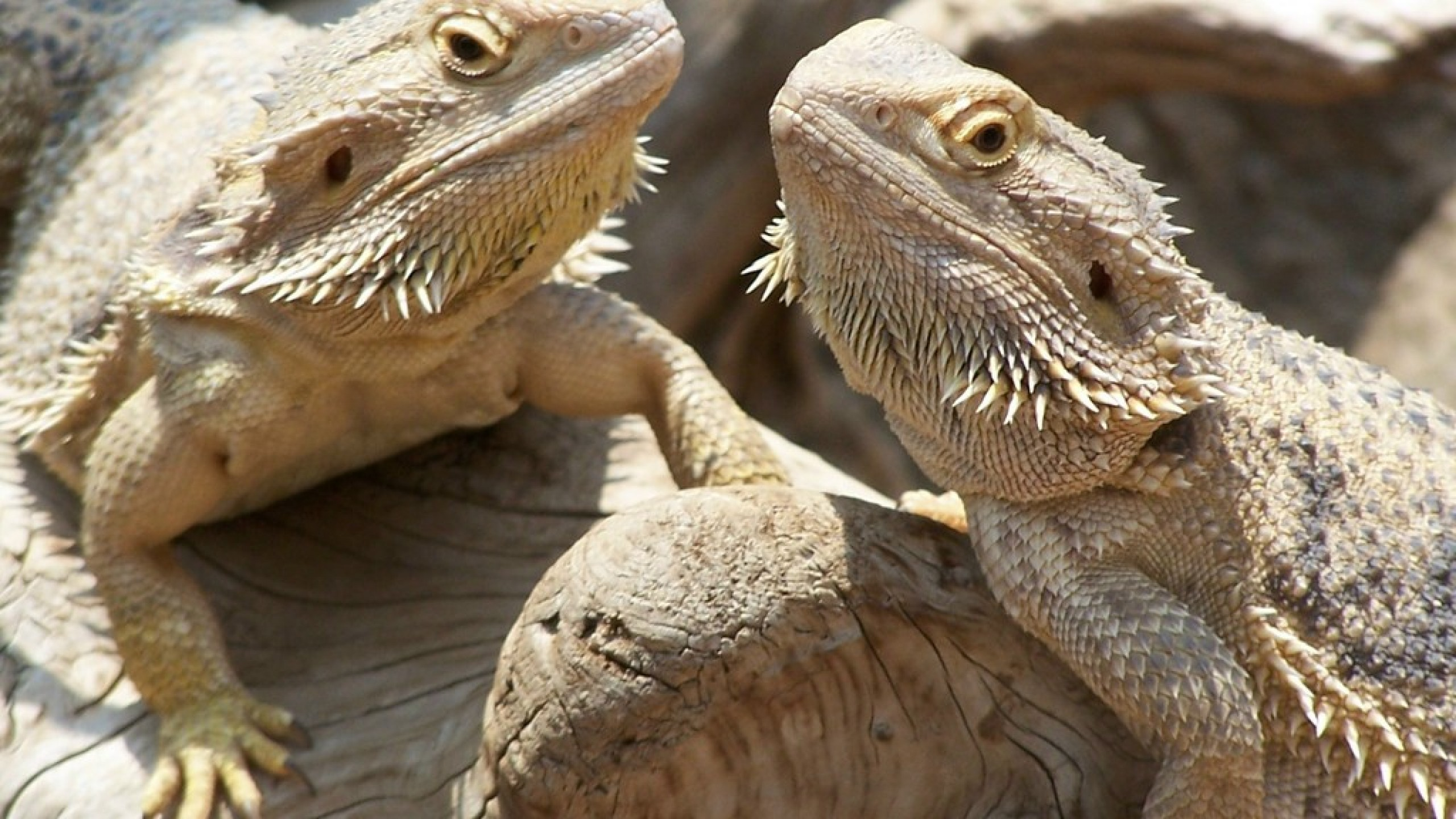 Bearded dragons larawan bearded dragons hd wolpeyper and background bearded dragons images bearded dragons hd wallpaper and background photos voltagebd Choice Image