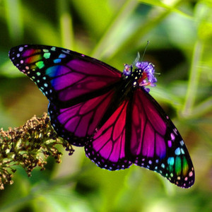 Beautiful Rainbow Butterfly