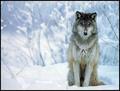 Beautiful Wolf - wolves photo