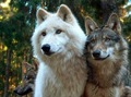 Beautiful Wolves - wolves photo