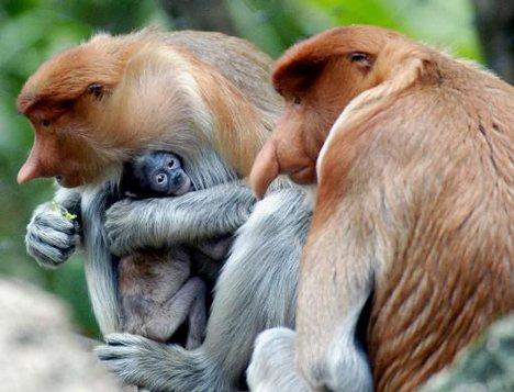 Bekantan Monkey from Borneo-Indonesian