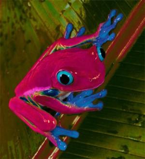 Blue-Eyed puno Frog