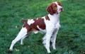 aguas de bretaña, perro de aguas de bretaña, bretaña spaniel