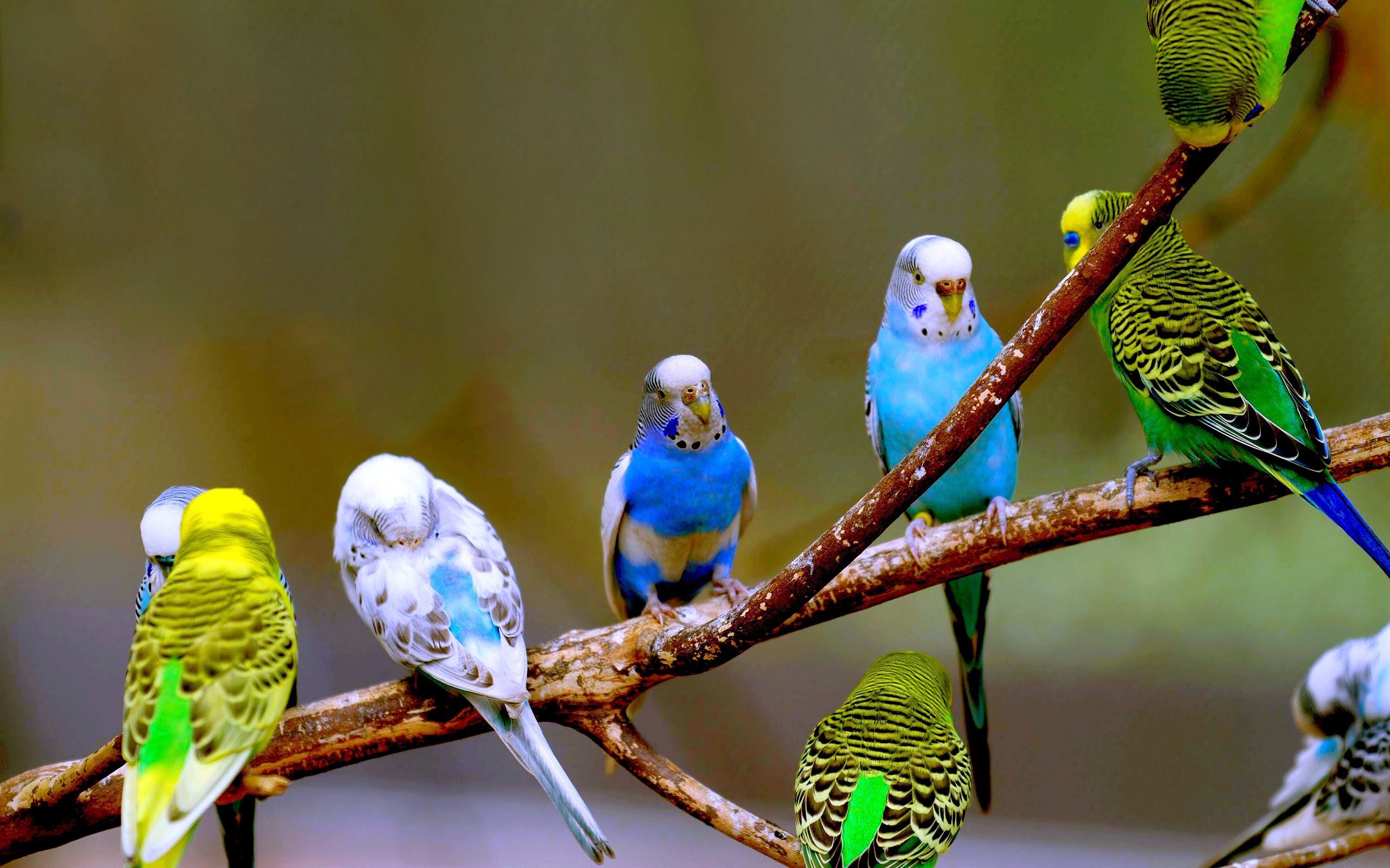 Great Wallpaper Love Parrot - Budgies-parrots-40142050-2560-1600  Pictures_597049.jpg